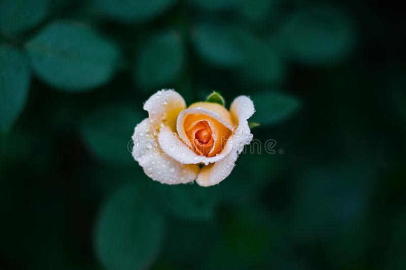 Peach Rose With Rain Drops royalty free stock photo