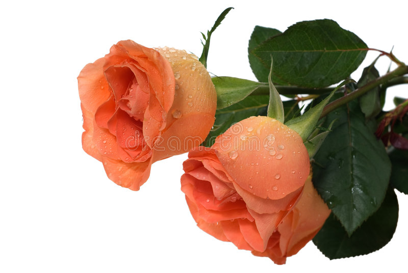Download Peach roses stock image. Image of flower, roses, isolated - 8608399