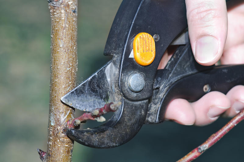 Peach spring pruning. With garden scissors stock photos