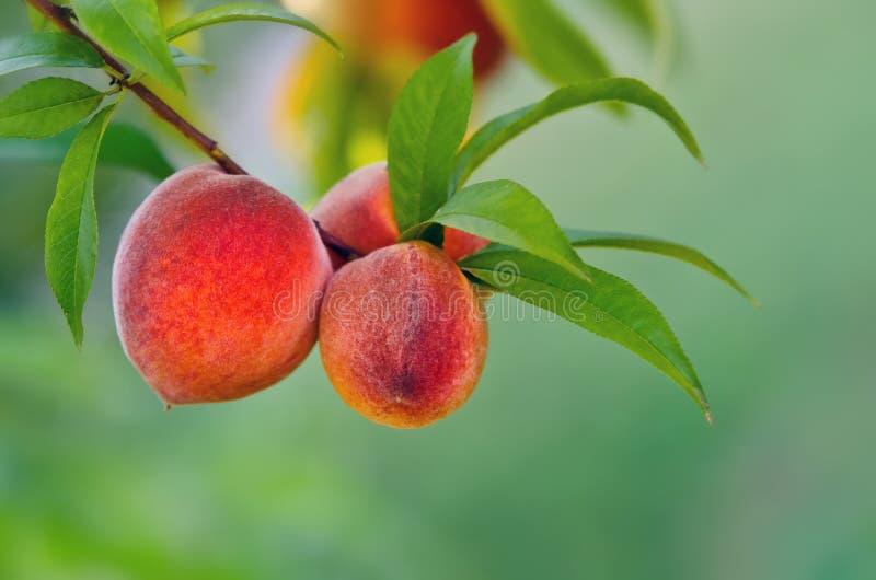 Peach tree royalty free stock photos