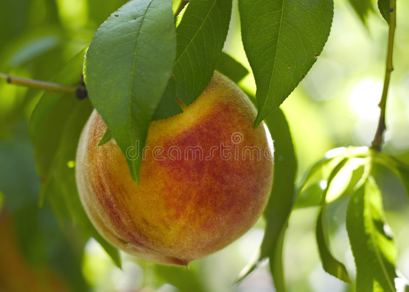 Download Peach on a tree stock photo. Image of nutritious, diet - 616306