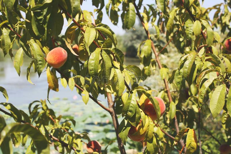 Peach tree in Astrakhan. Several branches of peach tree in Astrakhan stock photo