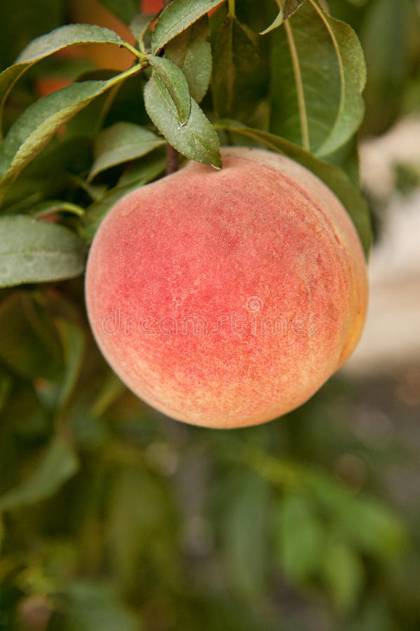Download Peach on the tree stock image. Image of organic, fruit - 42115421