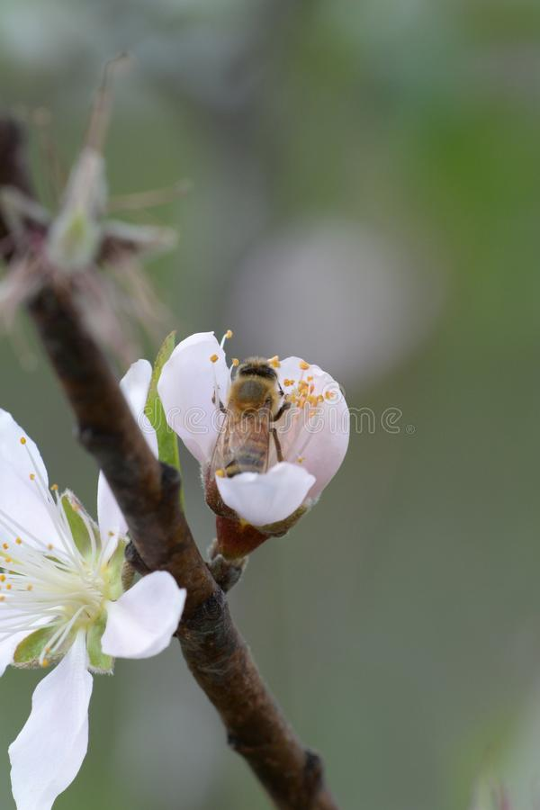 Peach tree and bee stock images