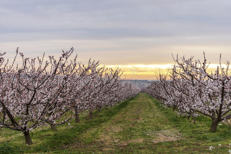 Peach tree in bloom, with pink flowers at sunrise. Aitona. Agriculture stock photography