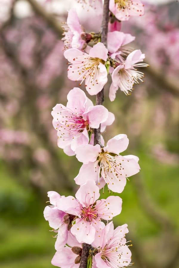 Peach tree blossom, flower, spring season. The peach tree blossom, pink flower in nature royalty free stock images