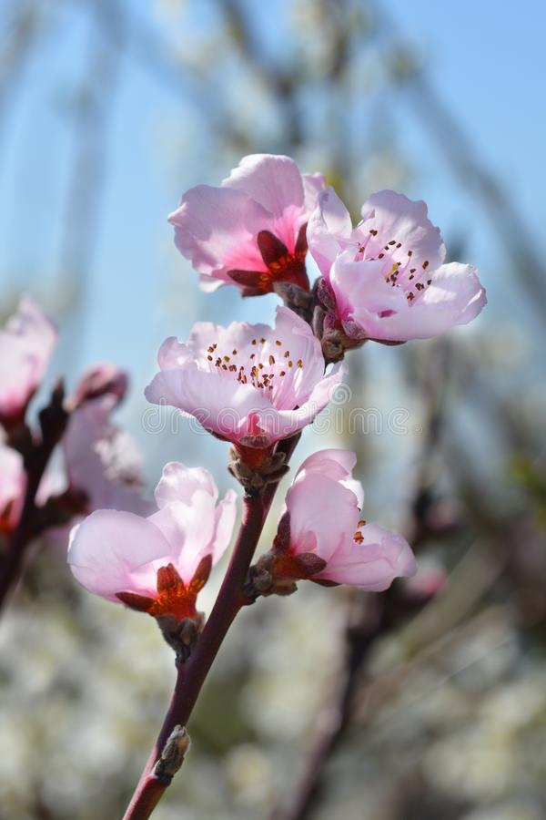 Peach tree Fayette. Latin name - Prunus persica Fayette royalty free stock images