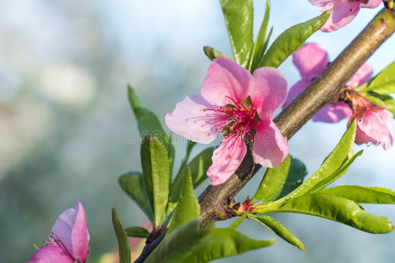 Peach tree flower spring bloom. Close up artistic shot stock photo