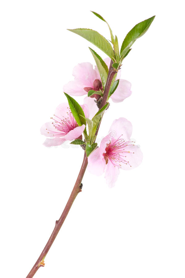 Download Peach tree flowers stock image. Image of background, beauty - 13671897