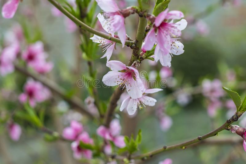 Peach tree flowers background royalty free stock photography