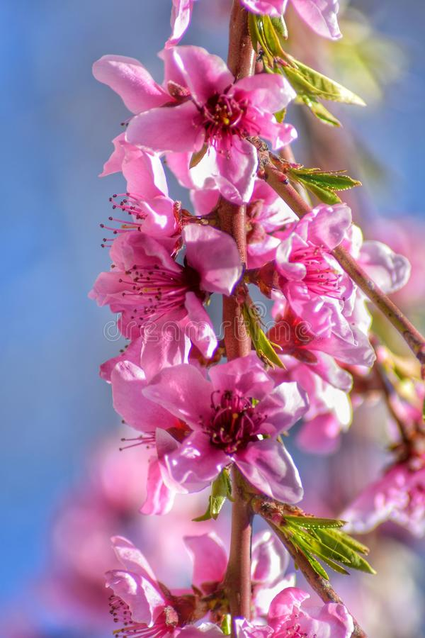 Peach tree flowers stock photography