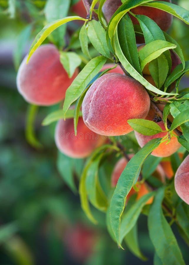 Peach tree fruits royalty free stock image