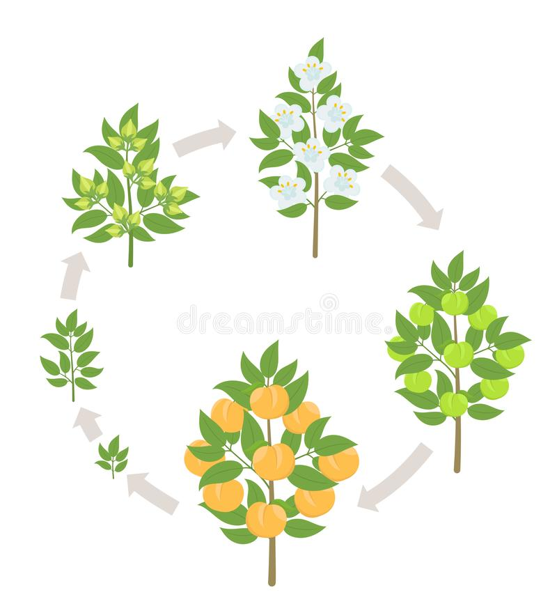 Peach tree growth stages. Vector illustration. Ripening period progression. Fruit tree life cycle animation plant. Peach tree growth stages. Ripening period vector illustration