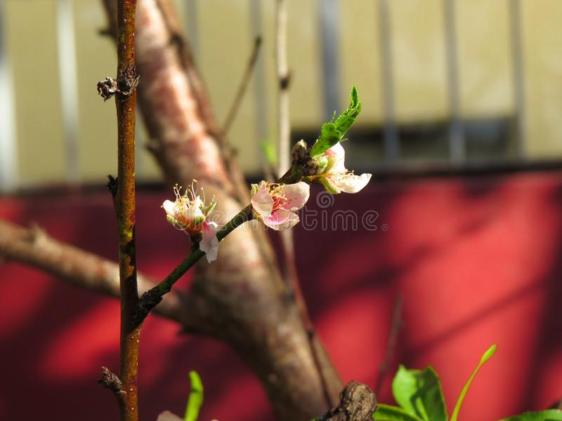 Peach tree with pink peach flowers stock photography