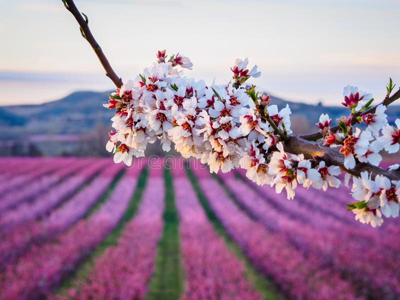 Peach trees in bloom in Aitona, Lleida, Spain. Pink and white peach blossom fruit trees, in Aitona, Lleida, Spain stock image