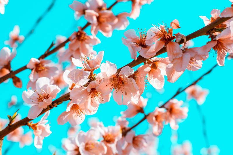Peach trees blooming in spring. royalty free stock photo