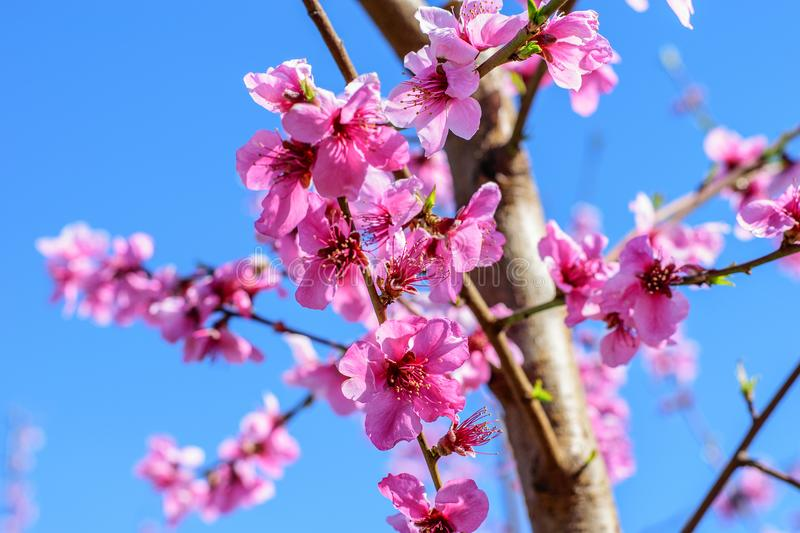 Peach trees blooming in spring. stock photo