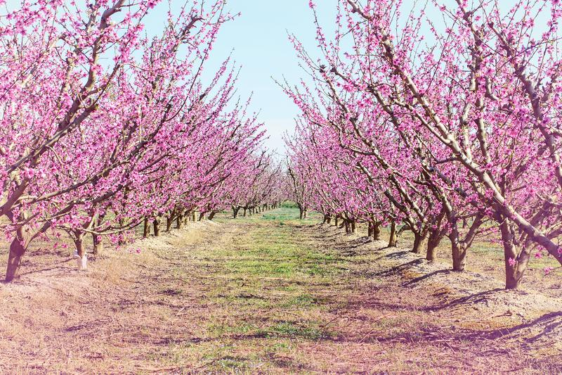 Peach trees blooming in spring. stock images