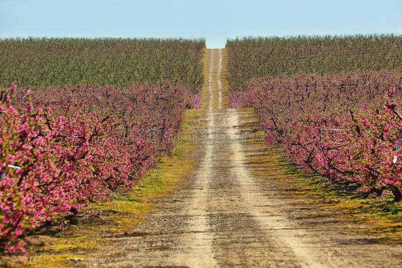 Peach Trees in Early Spring Blooming in Aitona, Catalonia. Spain royalty free stock photography