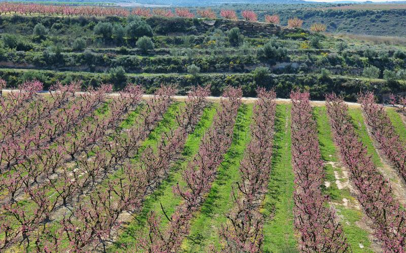 Peach Trees in Early Spring Blooming in Aitona, Catalonia. Spain royalty free stock photos