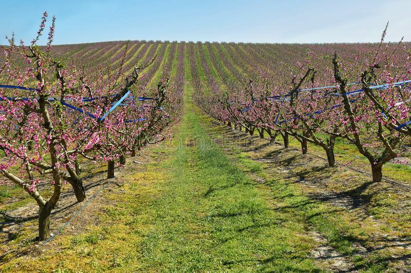 Peach Trees in Early Spring Blooming in Aitona, Catalonia. Spain stock images