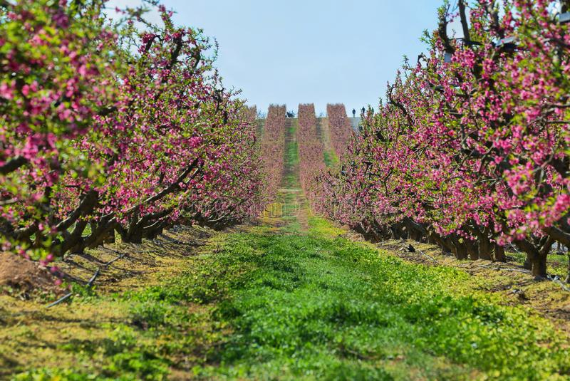 Peach Trees in Early Spring Blooming in Aitona, Catalonia. Spain royalty free stock photo