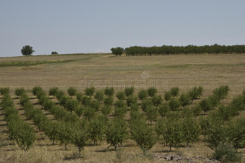 Peach trees in row and olive tree in background royalty free stock photo