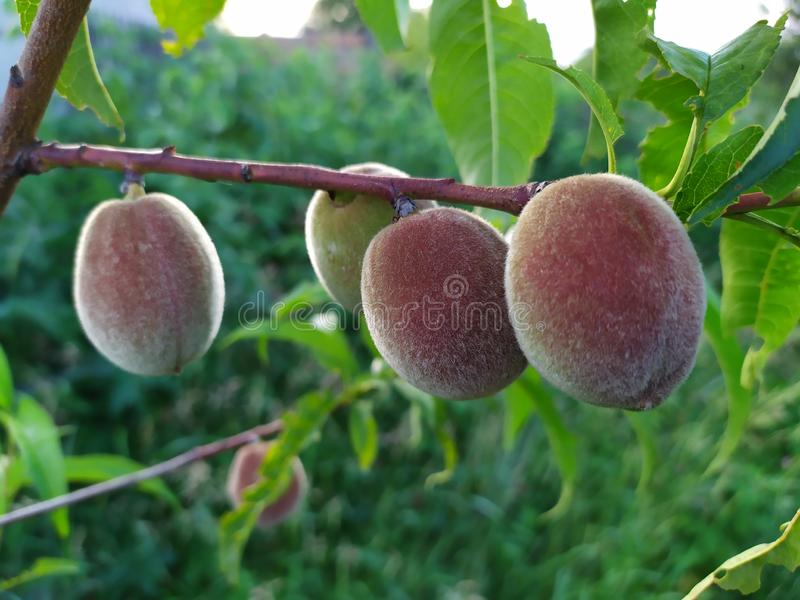 Peach tree with four fruits stock photo