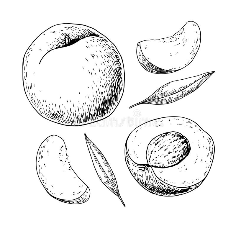 Free Peach Vector Drawing. Isolated Hand Drawn Full And Sliced Pieces Royalty Free Stock Photo - 88523405
