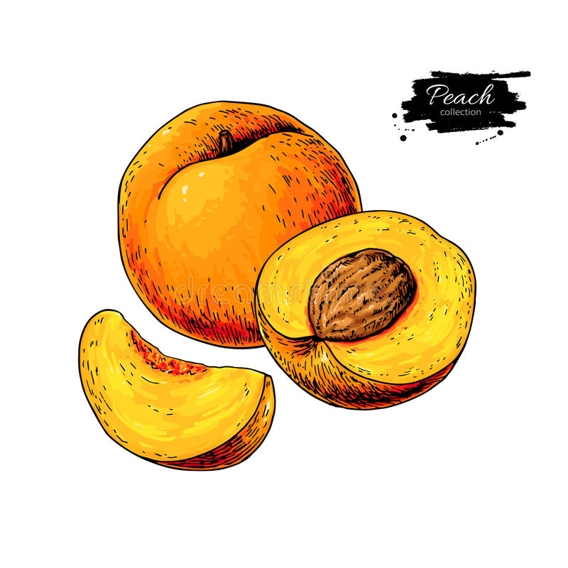 Free Peach Vector Drawing. Isolated Hand Drawn Peach And Sliced Piece Stock Photo - 88567360