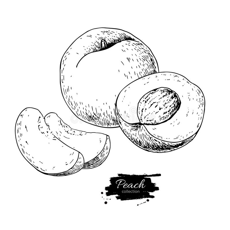 Peach vector drawing. Isolated hand drawn peach and sliced piece. S. Summer fruit engraved style illustration. Detailed vegetarian food sketch. Great for label royalty free illustration