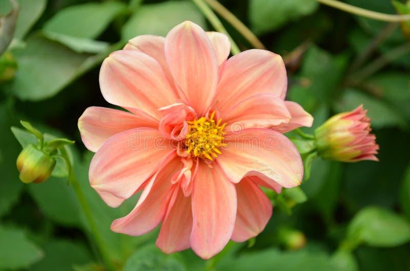 Peache flowers stock images