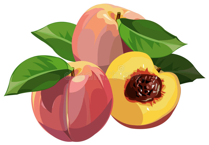 Download Peaches stock vector. Image of ripe, orchard, sweet, section - 11415531