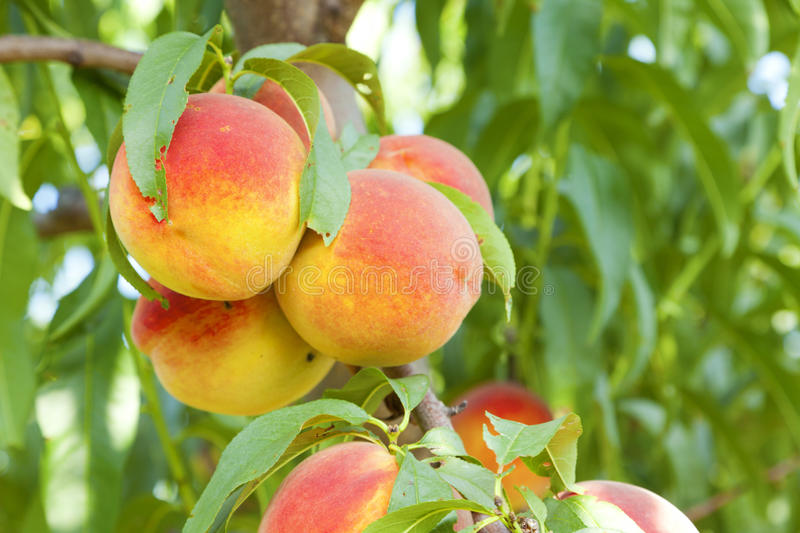 Download Peaches stock photo. Image of branch, nature, agriculture - 23893118
