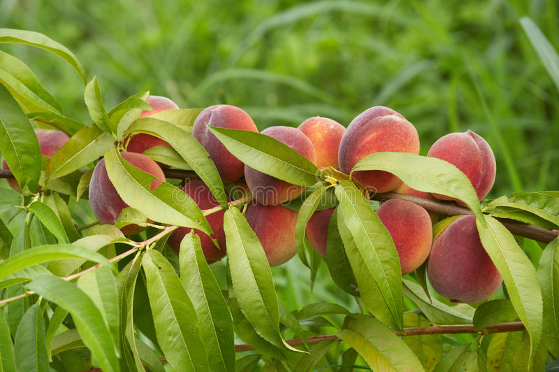 Download Peaches Stock Image - Image: 26811941