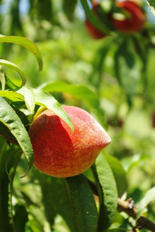 Download Peaches On Green Background Stock Image - Image: 9599183