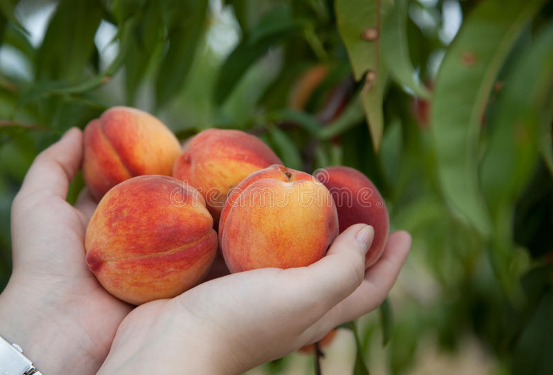 Peaches in hands. Just picked ripe peaches in the palms of the hands with green peach tree in the background royalty free stock photo