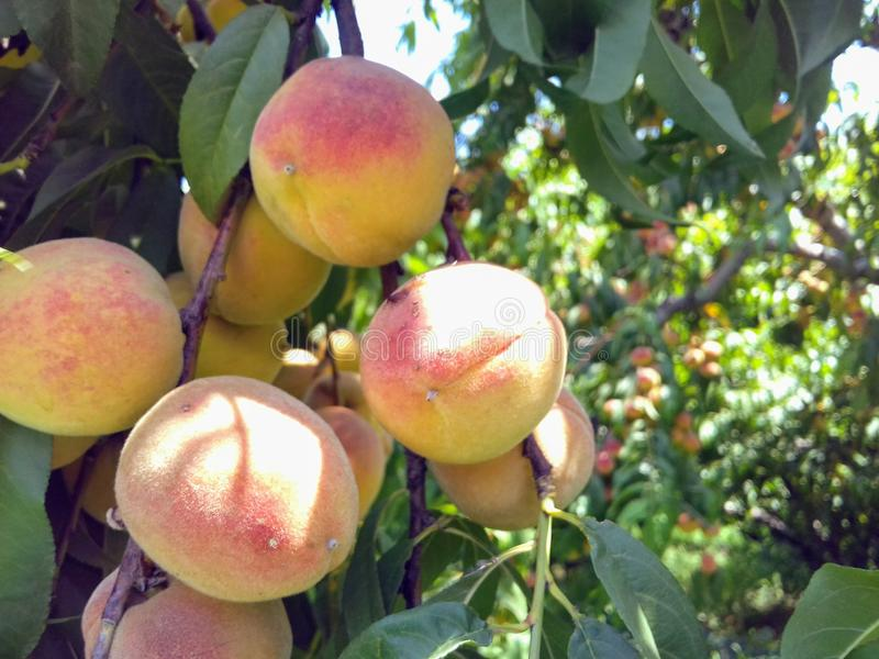 Peaches. The most beautiful bunch of Peaches. Airbrushed image royalty free stock image