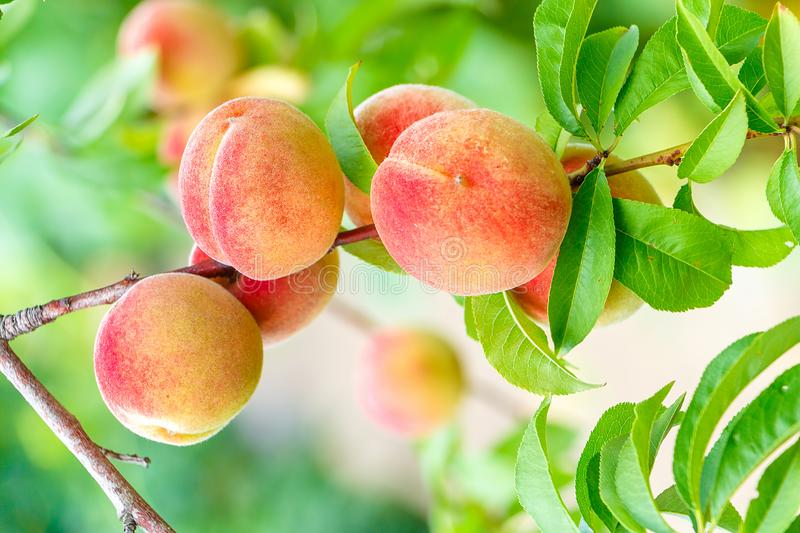 Ripe peaches hang on a tree branch stock images