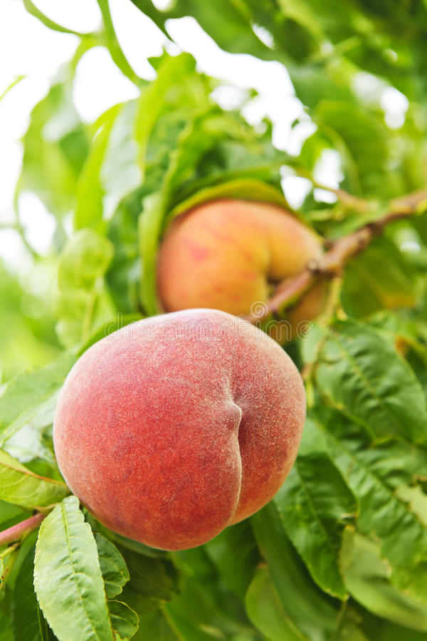 Download Peaches On Tree Royalty Free Stock Photo - Image: 19672485