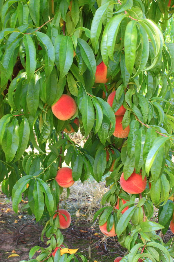 Download Peaches on a tree branch stock image. Image of grow, organic - 26088305