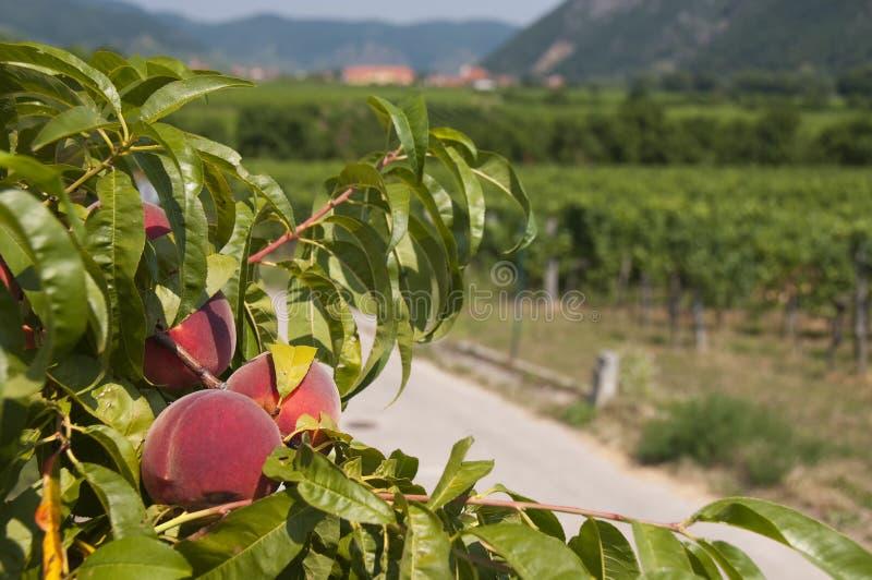 Download Peaches In The Vineyards Of Wachau, Austria Stock Photo - Image: 34442982