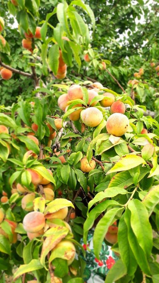Peaches Wallpaper maravilhosa imagem de stock
