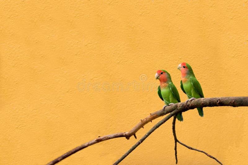 peachfaced lovebird стоковое изображение rf