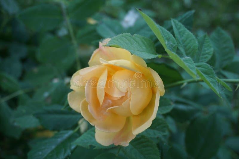 Peachy желтая роза стоковые изображения
