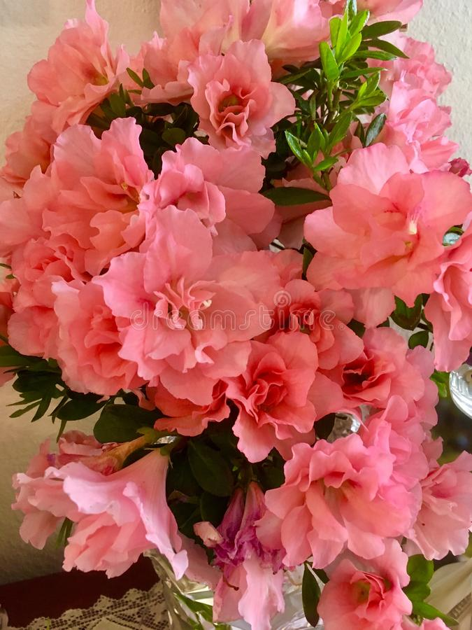 Peachy Pink Azaleas. A profusion of pretty Blossoms adorn this plant stock photo