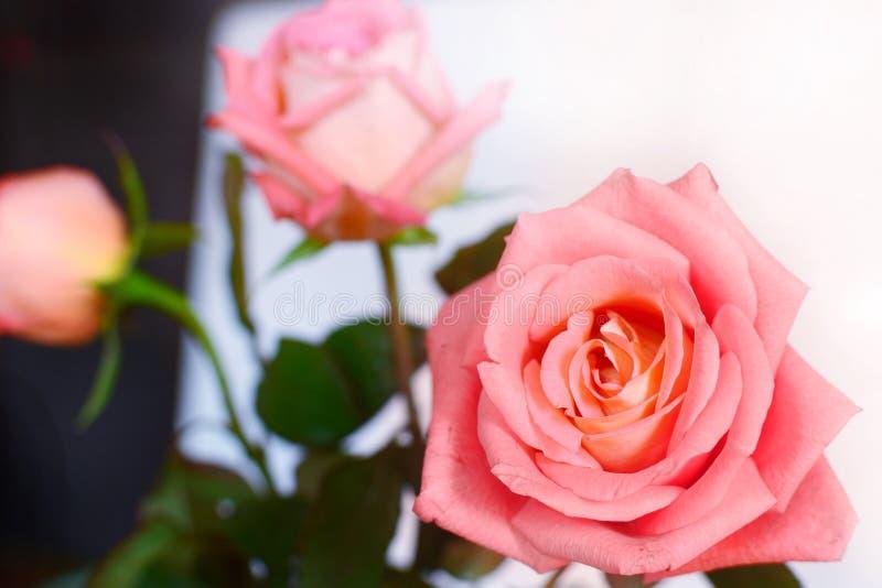 Peachy ros för lillfinger arkivfoto
