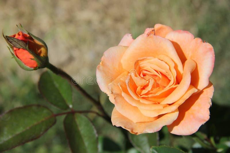 Peachy ros med knoppen arkivbild