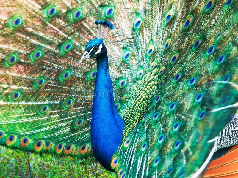 Peacock – Pavo cristatus. The male of Indian (Blue) Peafowl (Pavo cristatus) displaying in courtship full open tail feathers into a fan royalty free stock images