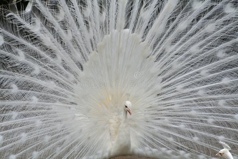 peacock λευκό στοκ εικόνες με δικαίωμα ελεύθερης χρήσης